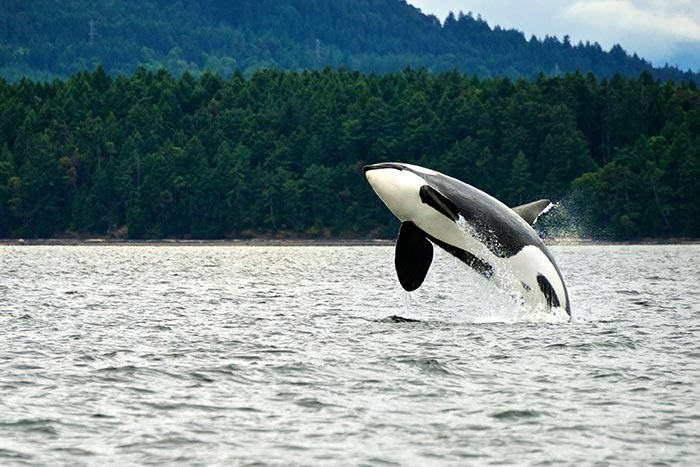 Orca breaching in the BC Gulf Island Waters, Canada