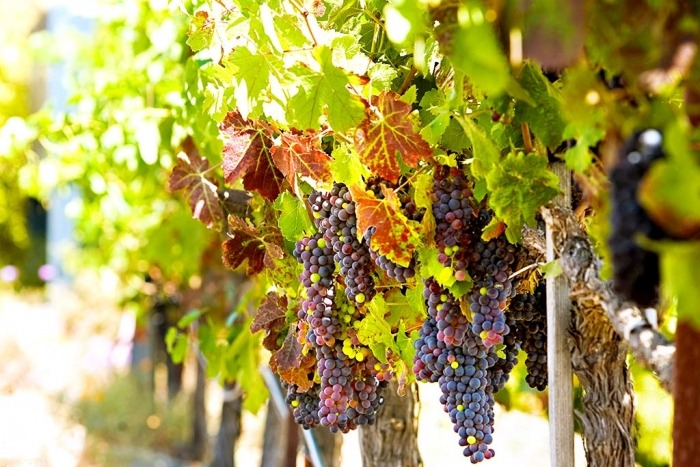 Wine Grapes in Vineyard - Napa Valley