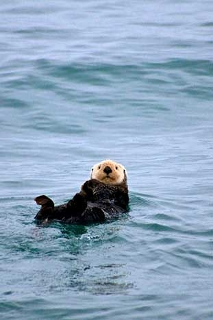 Sea Otter - Alaska Multi-Adventure Tour
