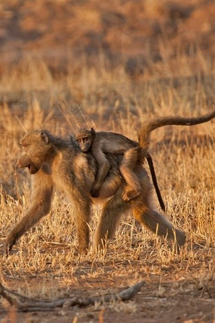 Monkey - Backroads South Africa & Botswana Multi-Adventure Tours