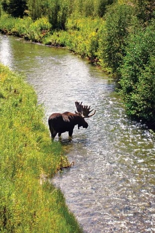 Moose - Yellowstone & Tetons Multi-Adventure Tour
