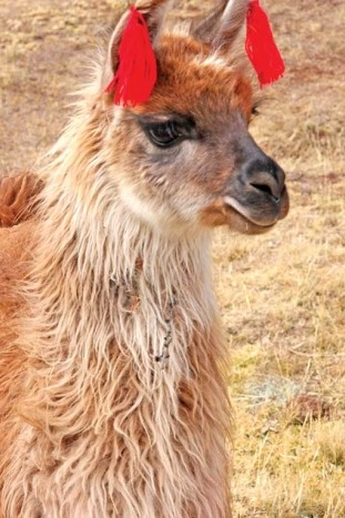 Llama - Peru Lodge-to-Lodge Trekking Tour