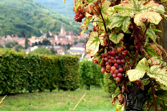 Wine Grapes, Champagne, France