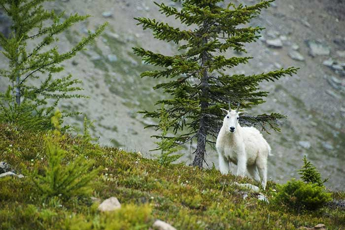 Mountain Goat, Canadian Rockies