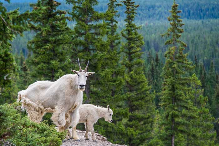 Mountain Goats - Canadian Rockies Family Multi-Adventure Tour