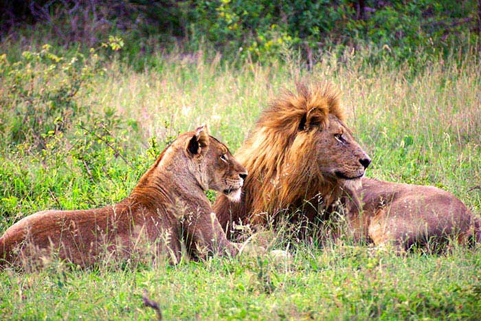 Lions - South Africa & Botswana Family Safari Multi-Adventure Tour – Older Teens & 20s