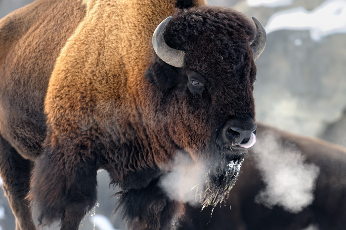 Bison, Yellowstone winter wildlife tours