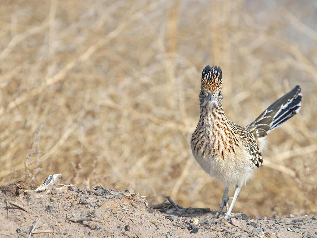 Road runner - Arizona Bike Tour