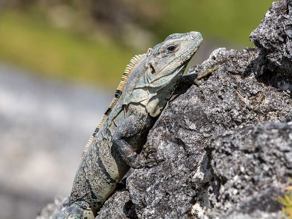 Iguana - Backroads Belize & Guatemala Family Multisport Tours