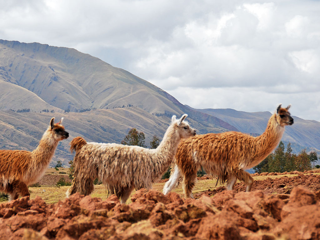 Llamas - Peru Multi-Adventure Tour