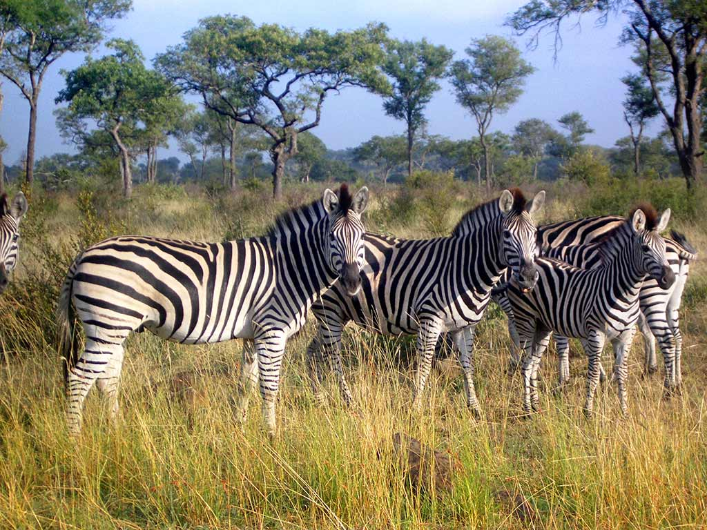 Zebras - Backroads South Africa & Botswana Multi-Adventure Tours